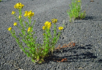 A blooming flower grows through a crack in the asphalt.