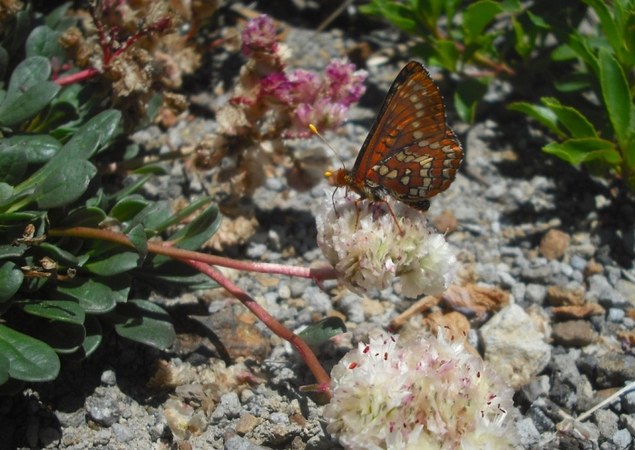 A butterfly at the Mt. St. Helens National Volcanic Monument in July 2013. Photo by Tim Graves