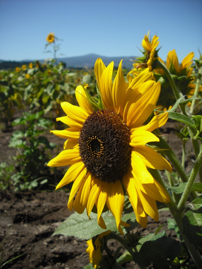 A sunflower field at Rasmussen Farm in Hood River county, Oregon. Photo by Tim Graves