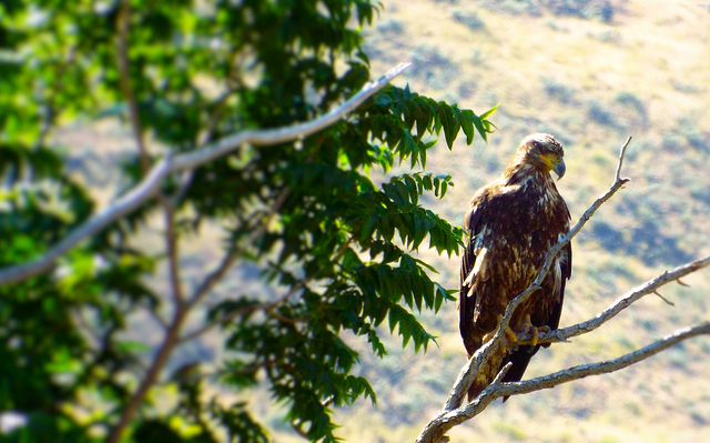 Surveying its vast domain along the John Day River in Cottonwood Canyon State Park, this bird of prey sits in its throne forty feet above mere mortals and photographers. Photo by Tim Graves