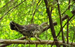 I took this paparazzi style photo of a not-chicken along the Herman Creek Trail in the Columbia River Gorge. Photo by Tim Graves