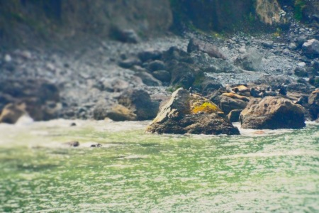 Sea lions on the rocks as seen from the Hart's Cove trail (about 1/2 mile away). Photo by Tim Graves
