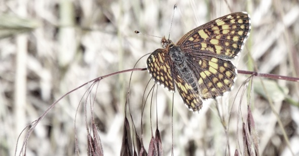 Fatigued Butterfly. Photo by Tim Graves. Creative Commons License BY-NC-ND 3.0 https://creativecommons.org/licenses/by-nc-nd/3.0/us/